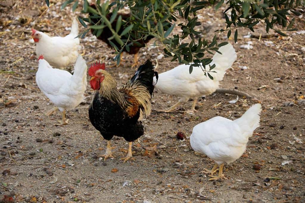 galline nella fattoria dell'agriturismo la castellana assisi