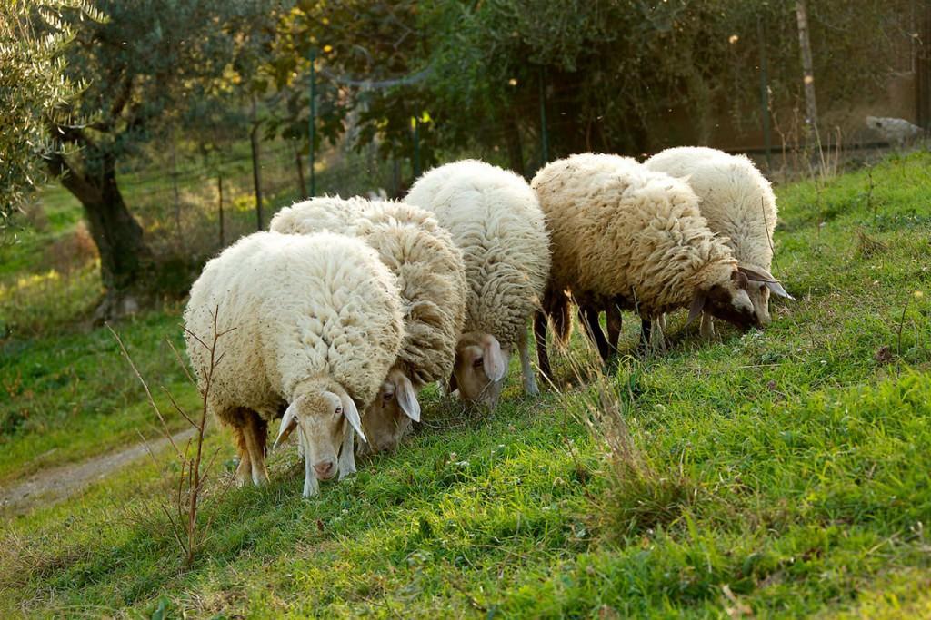 pecore e animali agriturismo assisi la castellana